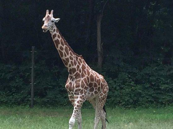 Riverbanks Zoo and Botanical Garden: Giraffe
