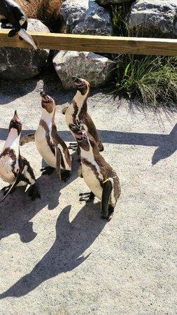 Dierenpark Planckendael : Pinguins