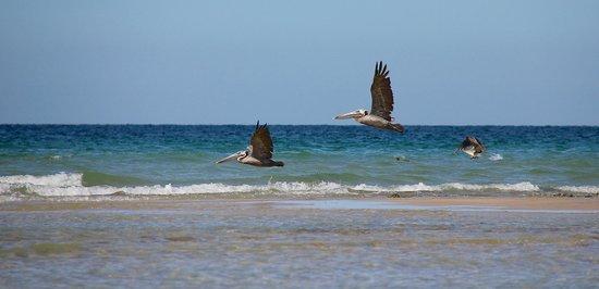 Sonoran Sun Resort: Pelicans.