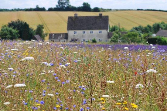 Cotswold Lavender : Wild flower meadow