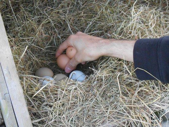 Westland Farm: Fresh eggs for breakfast :)