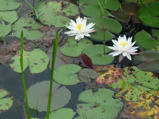 Montfair Resort Farm: Water lilies in the mornings