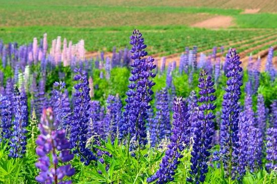 Charlotte's Rose Inn: The lupins of PEI