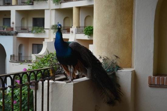 Velas Vallarta : peacock on our patio
