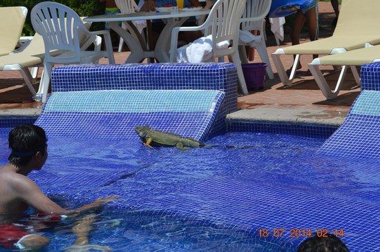 Velas Vallarta: lizard swimming in pool