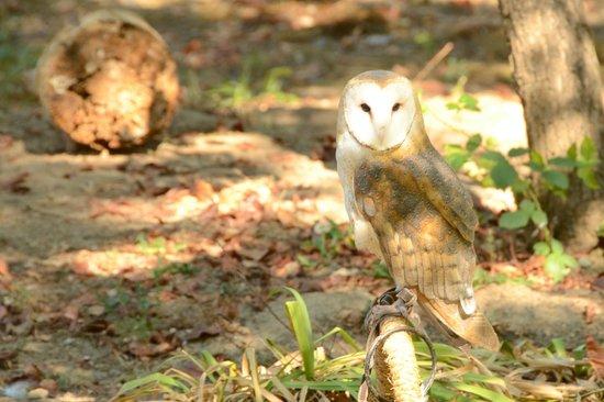 Wildlife Images - Rehabilitation & Education Center: Rehabilitated Owl