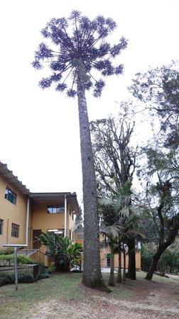Hotel Estancia Santa Cruz: Natureza - Araucárias
