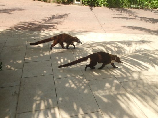 The Westin Golf Resort & Spa, Playa Conchal - An All-Inclusive Resort : Coati