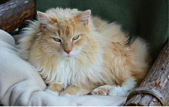 Lake Rabun Hotel & Restaurant : Chloe, one of the hotel's two pampered cats!