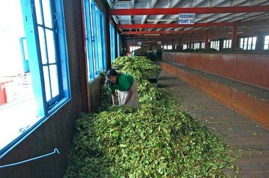 Nuwara Eliya and Tea Country: Чайная фабрика