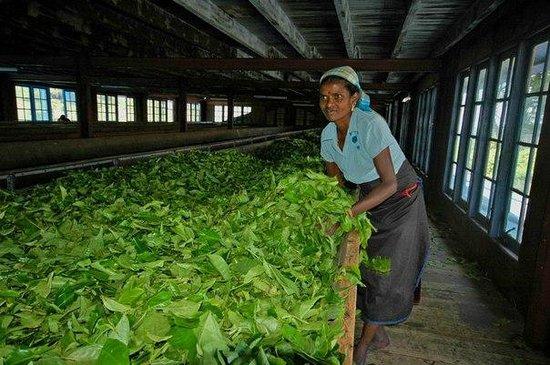 Nuwara Eliya and Tea Country: Фабрика
