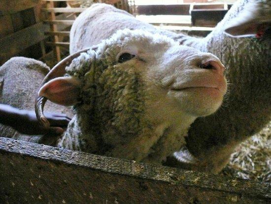 Slate Run Living Historical Farm : Sweet Sheep Slate Run Historical Farm