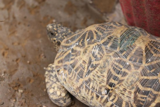 Atithi Guest House Pushkar: The family's tortoise