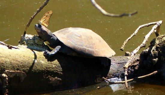 Inotawa Lodge: Schildkröte am See Tres Chimbadas