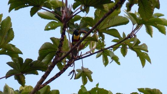 Tukan in der Nähe der Inotawa Lodge