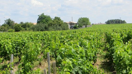 Bordovino Wine Tasting Day Tours : Grapevines in the Medoc region