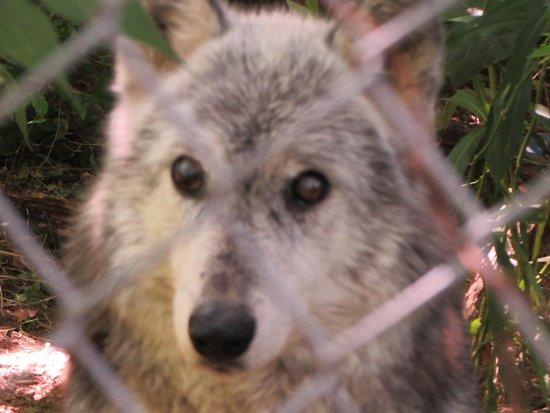Wolf Sanctuary of PA: Wolf making eye contact