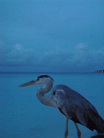 Kuramathi Island Resort: Uccello sul pontile