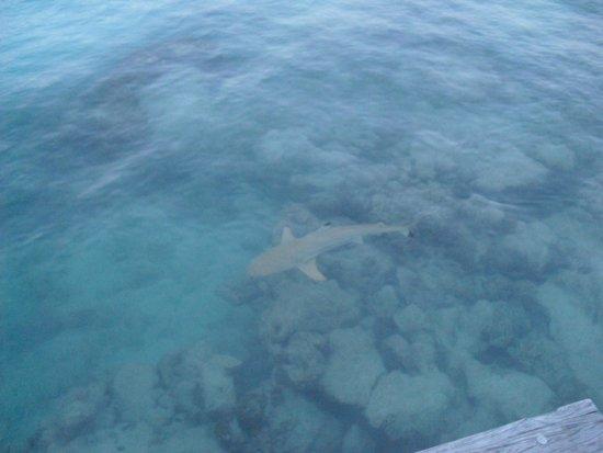 Kuramathi Island Resort: Squalo