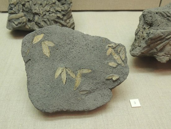 Museum of Prehistoric Thera : Fossilized olive leaves, 60,000 years old!