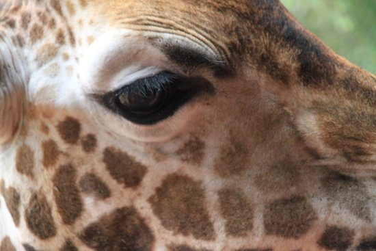 Giraffe Centre: giraffe close up