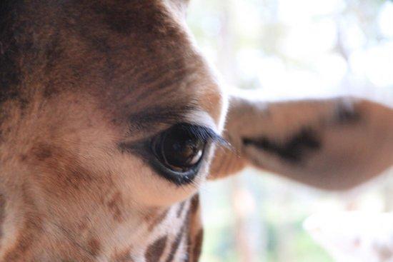 Giraffe Centre: the eye