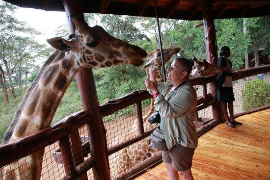 Giraffe Centre: feeding