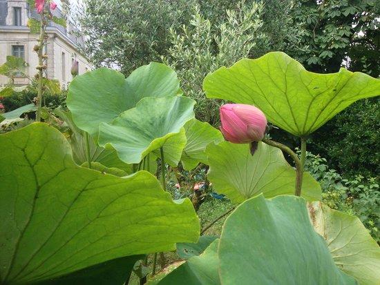 Le Domaine du Meunier : A small garden pond contains these wonderful lotus flowers