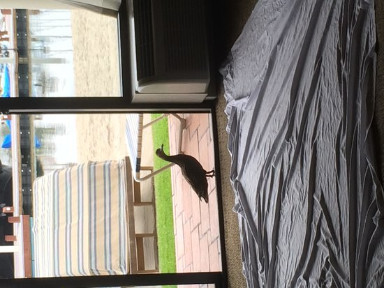 Bahia Resort Hotel : the duck that kept visiting our room