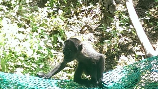 Nosara Wildlife Sanctuary at Sibu : Baby howler monkey!