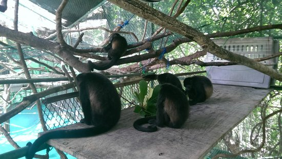Nosara Wildlife Sanctuary at Sibu : A group of monkeys at arm's length from you
