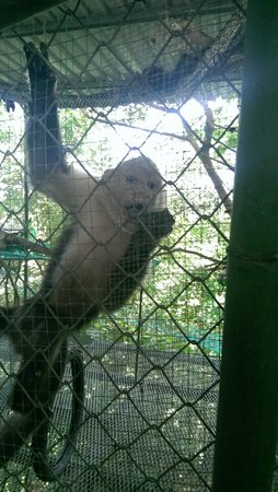 Nosara Wildlife Sanctuary at Sibu : Face to face with a Capuchin monkey