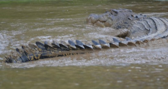 Sukau Rainforest Lodge: Crocodile