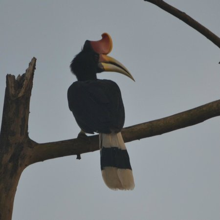 Sukau Rainforest Lodge: Rhinoceros Hornbill