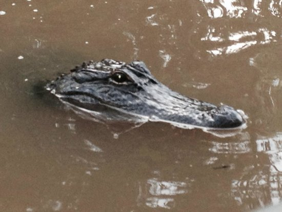 Dr. Wagner's Honey Island Swamp Tours: he's got his eye on you....