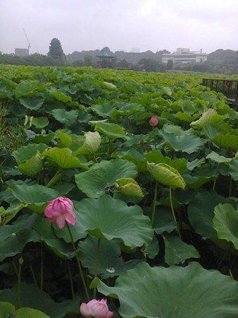 Ueno Park : Los lirios miden 1.50 metros en el Parque Ueno