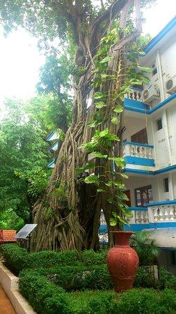 Karma Royal Monterio: a holy old  tree