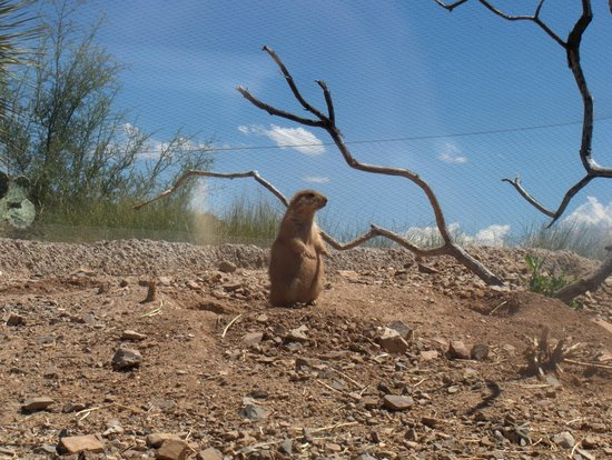 Arizona-Sonora Desert Museum: Prairie dog on the look-out