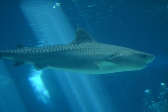 Maui Ocean Center: Tiger shark