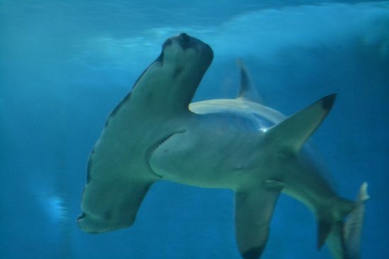 Maui Ocean Center : Big hammerhead shark