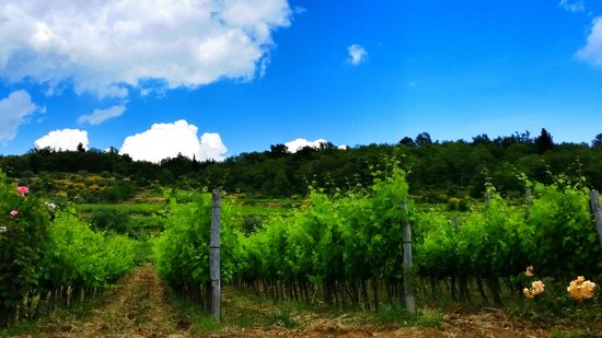 Tuscan Wine Tours by Grape Tours: Beautiful Tuscany Vineyard in Panzano