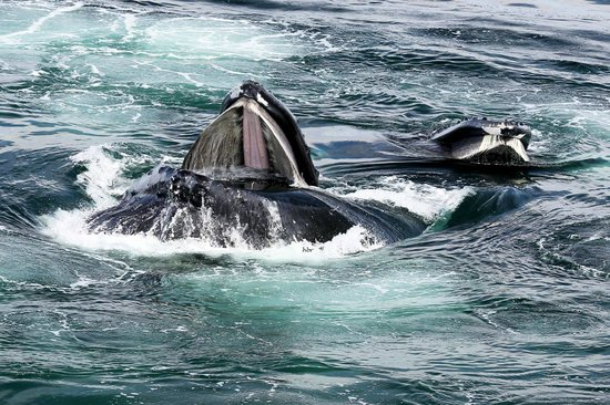 Hyannis Whale Watcher Cruises: Humpback whales bubble net feeding!