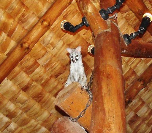 Ndutu Safari Lodge: Genets at dinnertime