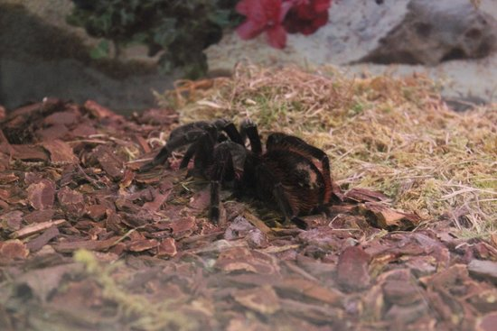 Newfoundland Insectarium: Tarantula