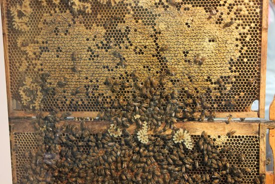 Newfoundland Insectarium: Working Bee Hive