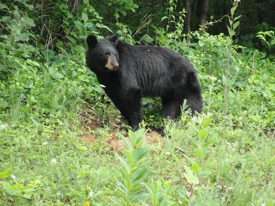 Lewis Mountain Cabins: Bear cub along road