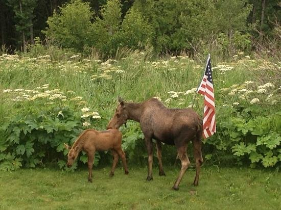Maria's Majestic View Bed & Breakfast : resident moose and calf celebrating the 4th of July