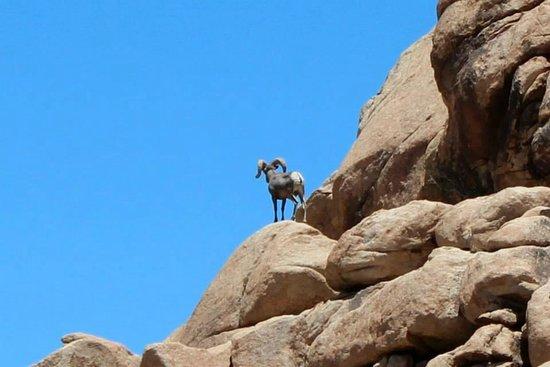 Barker Dam Trail: Big horned sheep