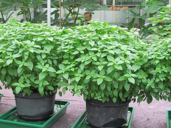 De Kas : Herbs in greenhouse