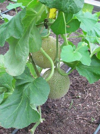 De Kas : Melons in greenhouse